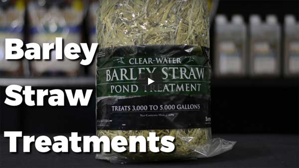 How To: Cleaning Pond Water - Barley Straw Treatment