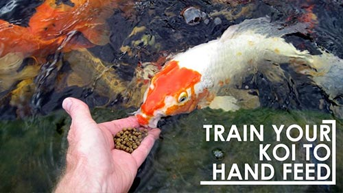 Train Your Koi To Hand Feed