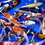 Premium Select Grade Koi 4-5 inches