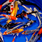 Premium Select Grade Koi 6-8 inches