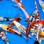 Premium Select Grade Koi 8-10 inches