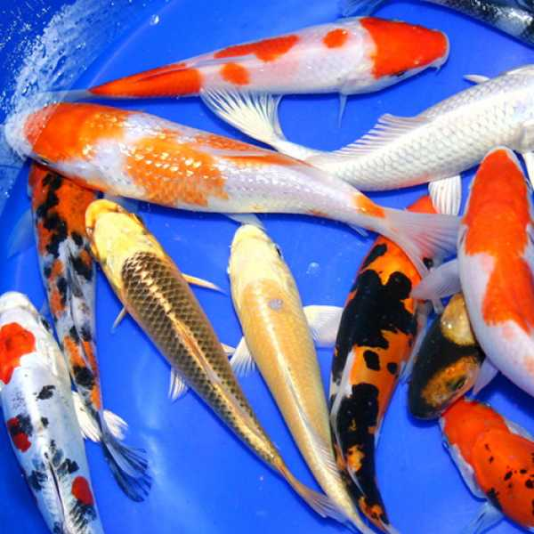 Live fish best prices on everything for ponds and water for Koi selection