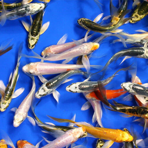 Imported Butterfly Koi