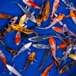 Standard Grade Butterfly Koi 3-4 inches