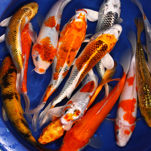 Standard Grade Koi 8-10 inches - 4 Fish
