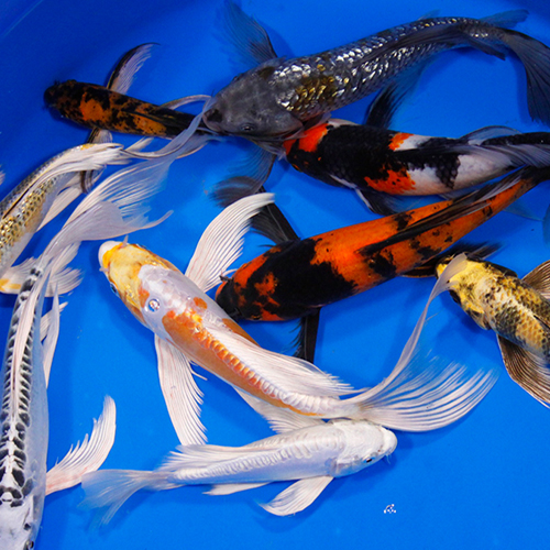 Premium Select Grade Butterfly Koi 8-10 inches - Case of 1