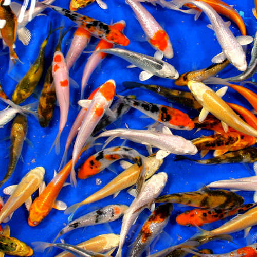 Premium Grade Koi 3-4 inches - Case of 50 Fish